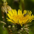 Syrphidae / Hoverflies